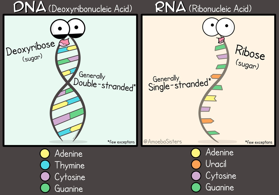 worksheet Dna Vs Rna Worksheet dna vs rna science with the amoeba sisters